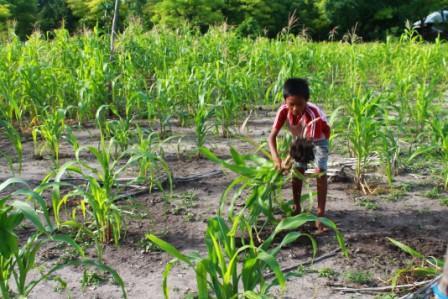 seorang anak di Londalima, Desa Kuta mencabut jagung yang rusak untuk jadi makanan ternak