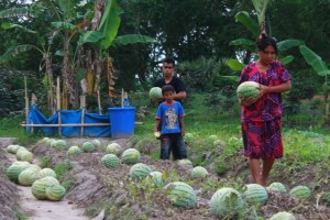 Semangka ditanam menggunakan Pupuk Organik Cair Bio Slurry
