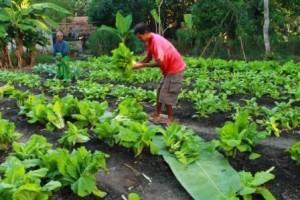 Pak Dohang ( Baju Merah ) menyiapkan sayur yang sudah dibeli pembeli di Mahanga Kalu Sumba Timur