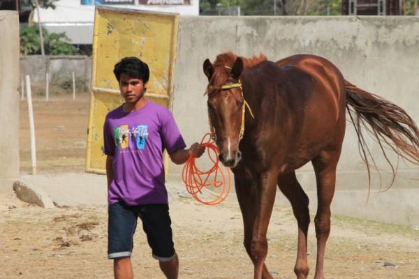 Kuda ini barui didatangkan pemiliknya dari Jawa 1 bulan lalu akan diikutkan pacuan danbelum punya nama [Foto: Heinrich Dengi]