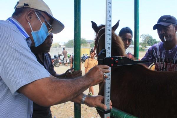 Ukur Tinggi Kuda untuk penentuan kuda lari dari Kelas apa [Foto: Heinrich Dengi]